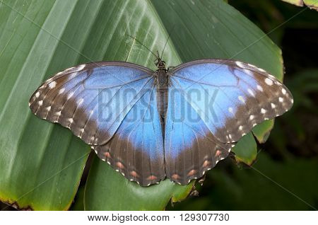 Morpho peleides butterfly on green a leaf
