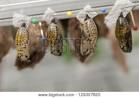 Pupa With Butterflies