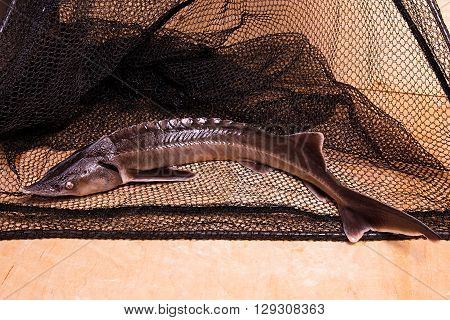 Fresh Sterlet Fish On Fishing Net. Sterlet Is A Small Sturgeon.