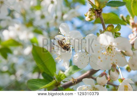 Bee Collect Nectar And Pollen On A Blossoming Cherry Tree Branch. White Flowers Of The Cherry Tree.
