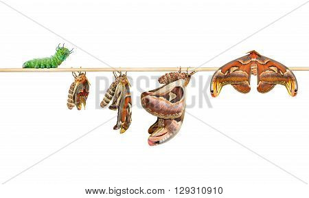 Life cycle of attacus atlas moth on white with clipping path