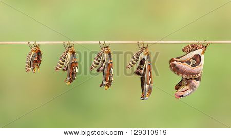 Transformation of attacus atlas moth on twig