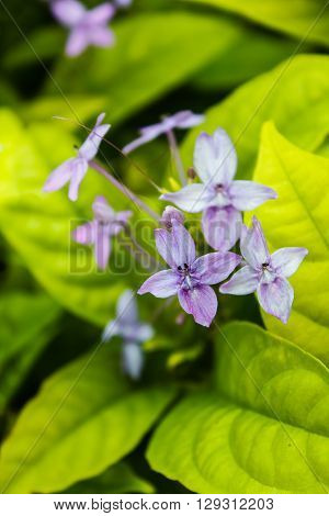 Pseuderanthemum Laxiflorum, Shooting Star, Star Flower.