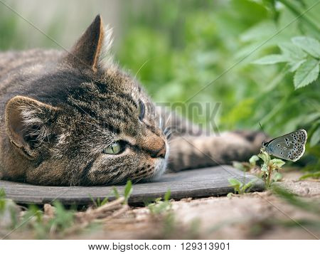 poster of Big cat lying on the ground and watching a butterfly. Luxury cat, striped. Beautiful cat resting. Butterfly sitting on the grass next to a cat