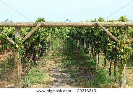 Grapevines in a vineyard in Swan Valley Western Australia