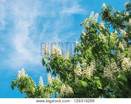 blossoming chestnu ton blue sky in Kiev Ukraine