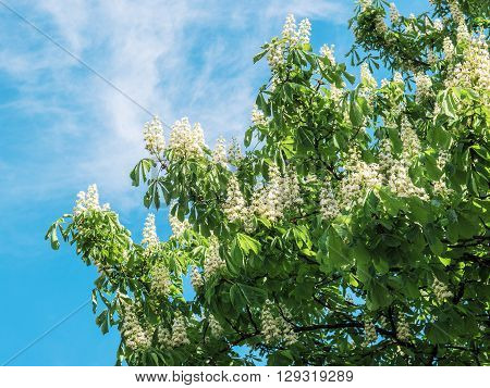 blossoming chestnut on blue sky in Kiev Ukraine