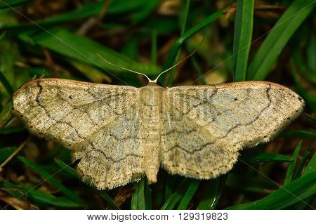 Riband wave moth (Idaea aversata). British insect in the family Geometridae the geometer moths