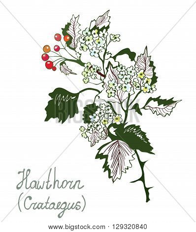 Howthorn or crataegus botany illustration for herbal medicine. Sketchy handdrawn style vector.