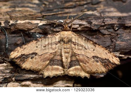 Waved umber moth (Menophra abruptaria). British insect in the family Geometridae the geometer moths