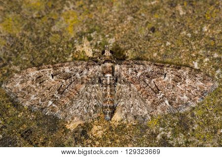 Brindled pug moth (Eupithecia abbreviata). British insect in the family Geometridae the geometer moths