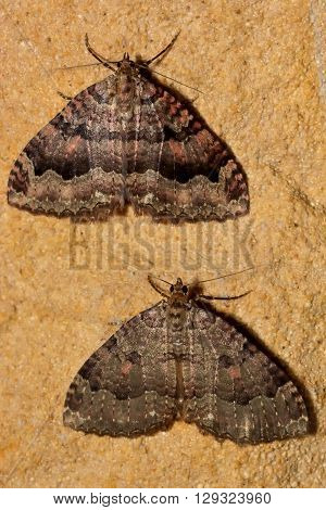 The tissue moths (Triphosa dubitata) over-wintering in cave. British insect in the family Geometridae the geometer moths