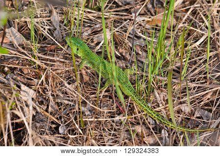 Green lizard in the national Park Meschersky. The emerald lizard on the dry grass.
