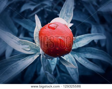Illustration of red peony flower bud with dew drops in the morning. Oil paint filter