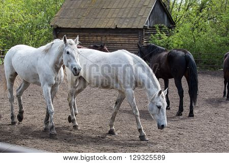 Portrait of beautiful white horse in summer