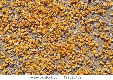 Corn beans on the ground close up