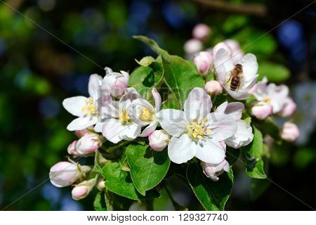 Apple blossoms on a sunny day in spring