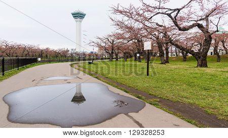 Goryokaku Tower and sakura blossom at park in Hakodate Hokkaido Japan