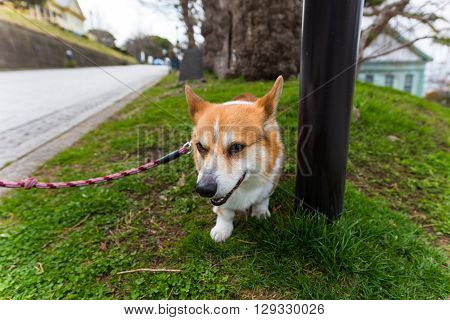 Welsh Corgi Pembroke Dog Relax On Grass Field