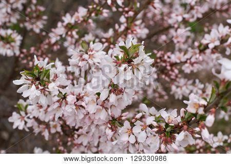The cherry blossoms pink flowers in early spring