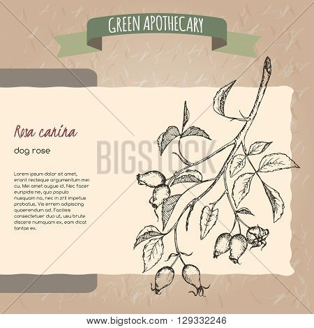 Rosa canina aka dog rose sketch. Green apothecary series. Great for traditional medicine, gardening or cooking design.