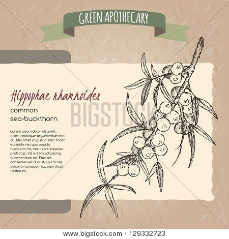 Common sea buckthorn sketch. Green apothecary series. Great for traditional medicine, gardening or cooking design.
