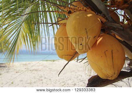 King yellow coconuts on their palm tree in white sand beach