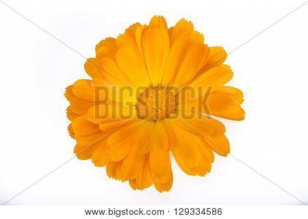 Calendula flower on an isolated white background