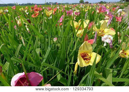 Hemerocallis In Field