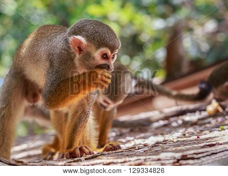 Squirrel Monkey (saimiri) Eating
