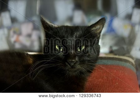 Tired black cat with green eyes resting on the pillow