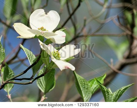 Dogwood flower in forest of Mclean near Washington DC 14 April 2016 USA
