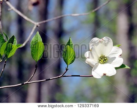 Dogwood flower isolated in forest of Mclean near Washington DC 17 April 2016 USA