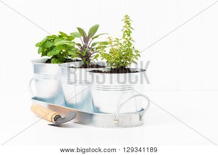 Small herbs in a metal container to create a small indoor herb garden. ** Note: Visible grain at 100%, best at smaller sizes