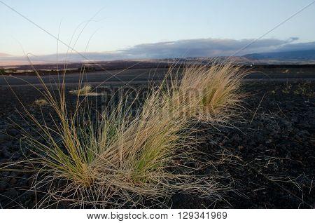 Fountain Grass On An Old Lava Field Near Waikoloa