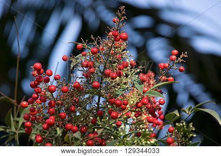 Bunch of Rowan berries on a branch under the white snow. Background for Christmas decorations.