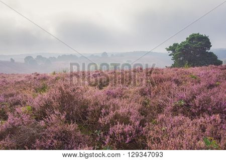 Autumn foggy morning in the national park the Veluwe Netherlands.