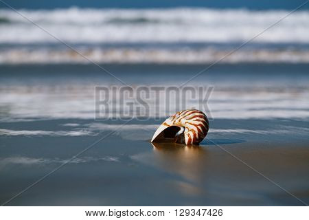 nautilus pompilius seashell on sea beach, Agadir, Marocco