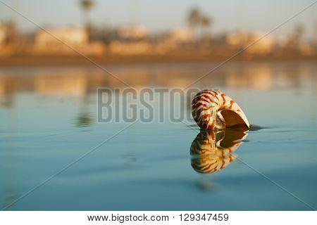 seashell nautilus on Agadir beach under sunset sun