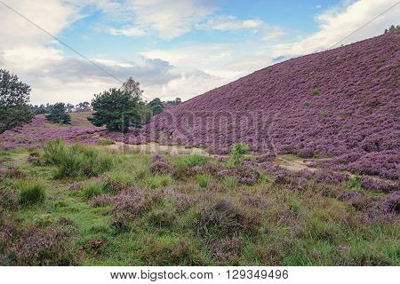 Morning in the heather fields in the Veluwe National Park Netherlands.