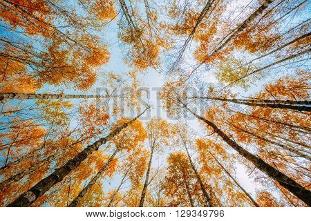 Birch Trees Canopy With Yellow Foliage. Nobody In Autumn Woods Forest. Russian Forest. Background