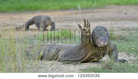 Hello From The Dragon. The  Komodo Dragon, Varanus Komodoensis