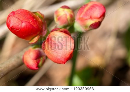 Bright pink buds of a quince close up. Macro small depth of sharpness. Buds are lit with a sunlight on an indistinct light background.