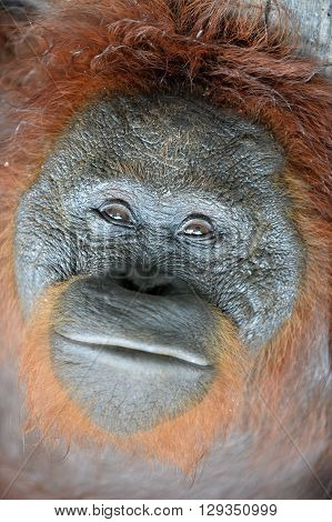 Orangutan Portrait. A Close Up Portrait Of The Orangutan. Close Up At A Short Distance. Bornean Oran