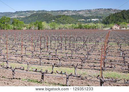 Field of grape vines in California near Napa