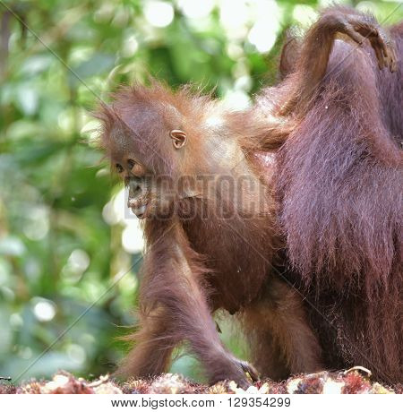 Baby Orangutan . The Close Up Portrait Of Cub Of The Bornean Orangutan (pongo Pygmaeus)