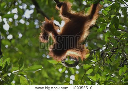 Baby Orangutan (pongo Pygmaeus). The Cub Silhouette Of An Orangutan In Green Krone Of Trees
