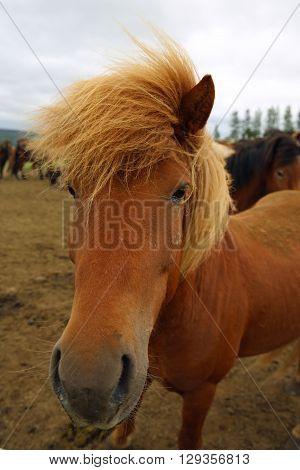 Icelandic Horse (Equus ferus caballus) on the meadow