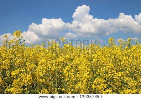A Field of Oilseed Rape in Germany