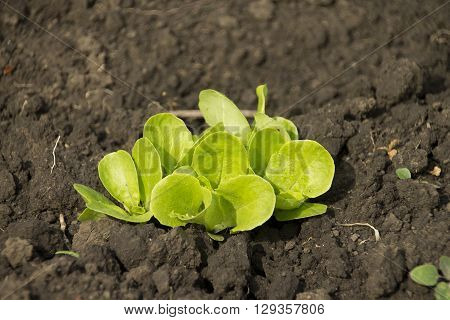 Young green salad leaves on the ground